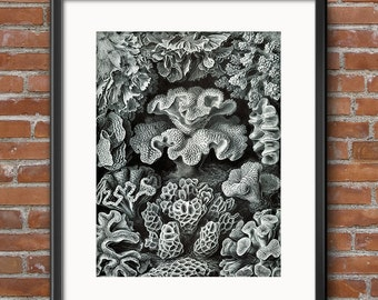 Ernst Haeckel Hexacoralla Sea Coral in Black and White Scientific Illustration Art Nouveau Scientific Illustration Natural History Art 0378