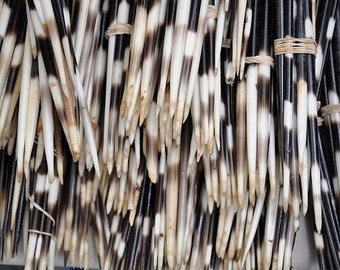 Bundle of prehensile tail porcupine quills- all different sizes. Between 1-6 inches