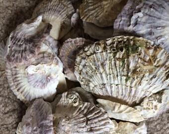 Beautiful European Oyster Shells