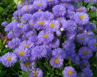 Erigeron blue Flowers Seeds from Ukraine #1437