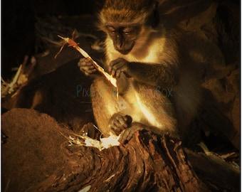 Baby Vervet Eating Sugar Cane