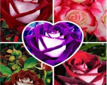 100pcs Rare Osiria Rose Seeds,Chinese Rose Flower Seeds