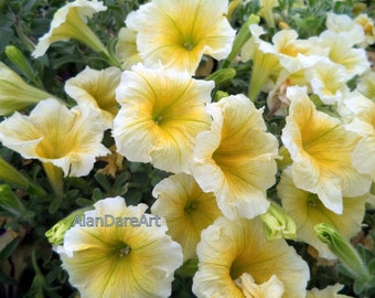 Yellow / petunias, flower photography, print, wall art