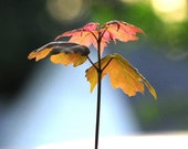 """Young Red Maple Seedlings (5) - 6"""" - 12"""" Tall - Fast Growing Shade Tree - Great for Bonsai"""