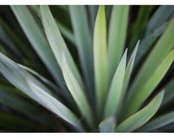 Art Photograph - Floral Photography - Nature Photograph - Fine Art Photograph - Yucca 6 -Green Art - Botanical Print - Wall Art - Home Decor