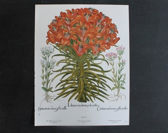 Large TWO SIDED Botanical Book Plate Print, Latin, Vintage Study, Giant Illustration Orange Lily Madonna, Lily Bulb