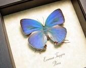 Real Framed Real Rare Sky Blue Evenus Tagyra Hairstreak Butterfly Shadowbox Display 8183f