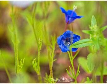 Spring Wild Blue Flower Fine Art Canvas wrap- 2