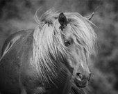 Wild Horse of Assateague Island Photo - 11x14 Black and White Animal Photography Print