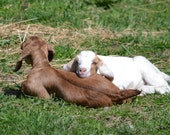 Baby Goats of Perryvile