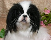 JAPANESE CHIN Soft  Sculpture ~ one of a kind~ Collectible LIFELIKE Dog Art