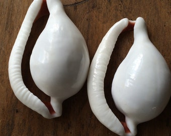 2 Large White Cowrie Shells (cut)