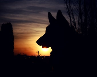 German Shepherd Photography  german shepherd silhouette,sunset,copper,dog lovers decor,twilight,evening,summer,golden,beautiful shepherd