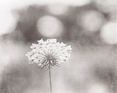 """Queen Annes Lace Photography, black and white light grey nature art print pale gray botanical large neutral flower wall photo, """"Dreamy"""""""