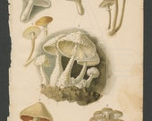 Eight Edible Mushrooms 1890 Lithograph