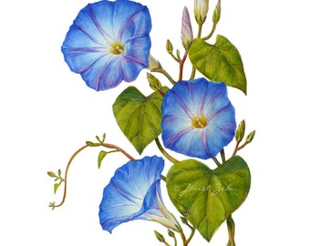 Morning Glory Print Blue Flowers Botanical Floral Art by Janet Zeh