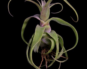 Airplant/Tillandsia diguetii- Very Rare Miniature Species