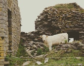 Irish Cow Fine Art Photog...