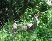 Big Doe, Digital Download, wildlife decor, deer decor, wild deer, female deer, fine artphotography