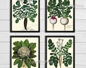BOTANICAL Print SET of 4 Art Print  Aldrovandi Antique French Garden Vegetable Plants Spring Summer Vintage Room Wall Home Room Decor