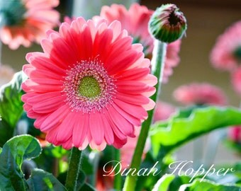 Beautiful Spring Gerber Daisy