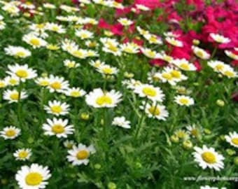 10 Chamomile flowering perennial  herb  plants from my  organic farm for extract tea or chamomile muffins make great scrubs too free ship
