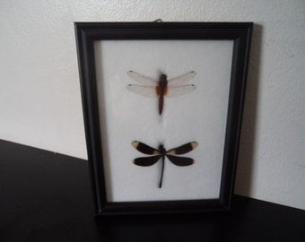 Real Dragonflies Framed Display Dragonfly Taxidermy Lepidopterology Entomology Zoology