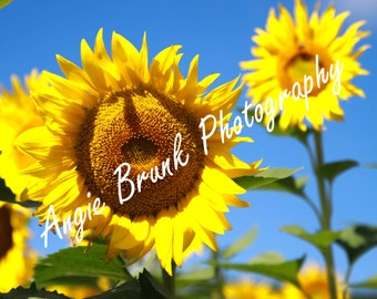 Beautiful Large Sunflower Bloom with Blue Sky
