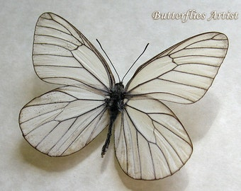 White Black Veined Aporia Crataegi Real Butterfly In Museum Quality Shadowbox