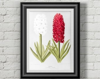 Hyacinth botanical poster. Flower print. Flowers prints wall art.  Botanical print. Wall art prints. Wall art print Vintage botanical prints