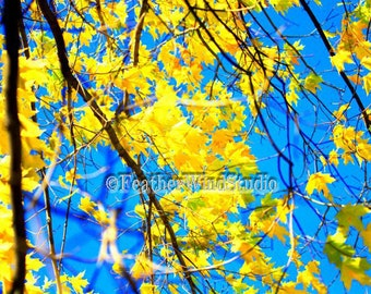 Abstract Sugar Maple Photography | Blue Sky and Yellow Leaves Wall Decor | Cheerful Nature Image | Maple Tree Color Photo Art | Autumn Print