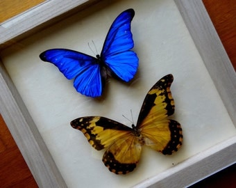 Morpho Cacica Pair From Peru - Stunning! RARITY - Framed -Taxidermy - Collectibles