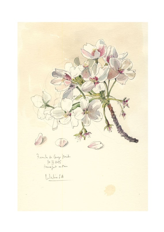 Cherry Blossom 3 Watercolor Pencil Drawing Botanical Print