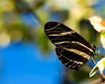 Butterfly Photograph - Zebra Longwing Butterfly - Nature - Home Decor
