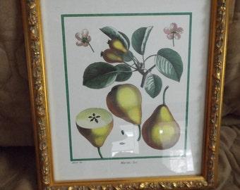 Vintage Framed Pear Print in Gold Frame