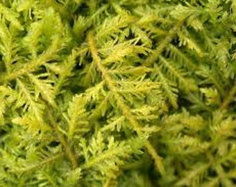 Live Woodland Fern Moss~Terrarium~Native~SHADE/WOODLAND garden~Winter Hardy~Naturalize