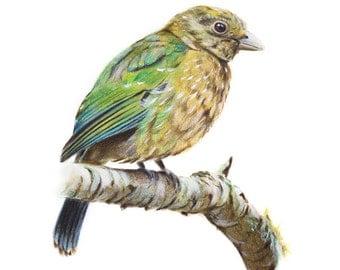 Green Catbird - Australian Birds - Wildlife - Art Print