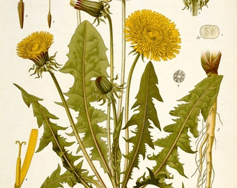 Dandelion Print from Kohler's Medicinal Plants Home Decor Wall Decor Giclee Art Print Poster A4 A3 A2 Large Print FLAT RATE SHIPPING