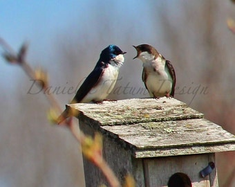 A Tree Swallow Pair Chatting