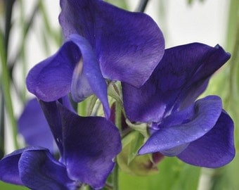Sweet Pea Royal Navy Blue Flower Seeds (Lathyrus Odoratus) 25+Seeds