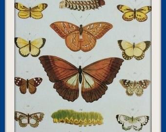 Butterflies Print | Seba's Cabinet Natural Curiosities | Ready to Frame | Home Décor