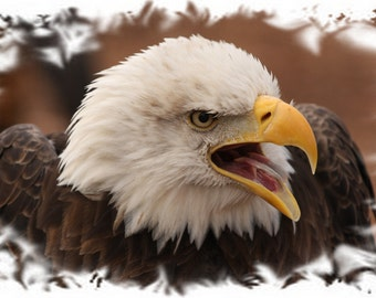 American bald eagle, eagles, photo, print, picture, bird, birds, wall art, home decor, nature photography, free shipping