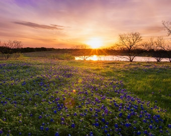 Fine Art Photography | Texas Bluebonnets | Country Photography | Photo Print | Rustic Art | Bluebonnets | Texas | Texas Photography