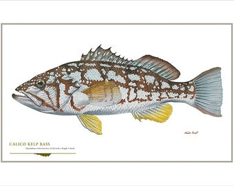 Mature striped bass open edition print by by for Wyoming game and fish draw results