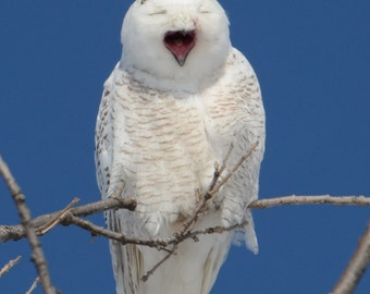 "Snowy owl photo, white owl photo, wildlife photo, for bird lovers, for nature lovers  Title: ""That's a Good One"" !"