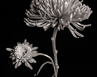 Mum Flower Limited Edition Fine Art from 4x5 Large Format Film