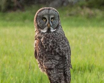 Great Grey Owl, Forest bird, Woodland Bird, Forest Magic, Totem Owl, Art Photograph or Greeting Card