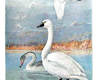 Bird Print - Whistling Swans - 1932 Book Page from Vintage Bird Book -10 x 7