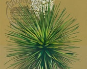 Yucca Print from Colored Pencil Drawing by B Bruckner