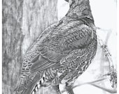 Spruce Grouse - Open edition print of an original drawing